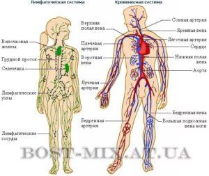 Кровеносная и лимфатическая системы